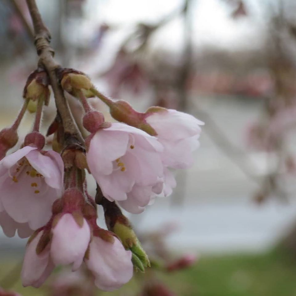 鶴岡の桜 咲き始め