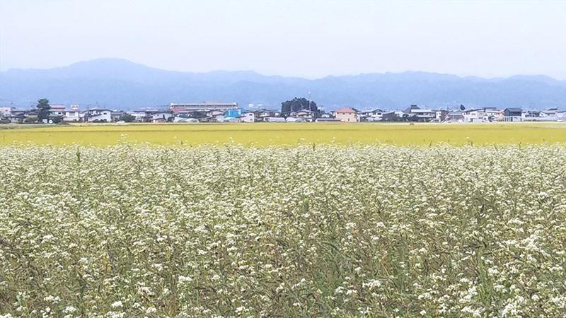そばの花と稲田