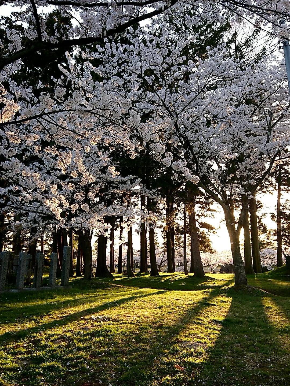 鶴岡市 桜