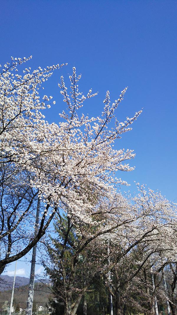 山形県総合運動公園の桜