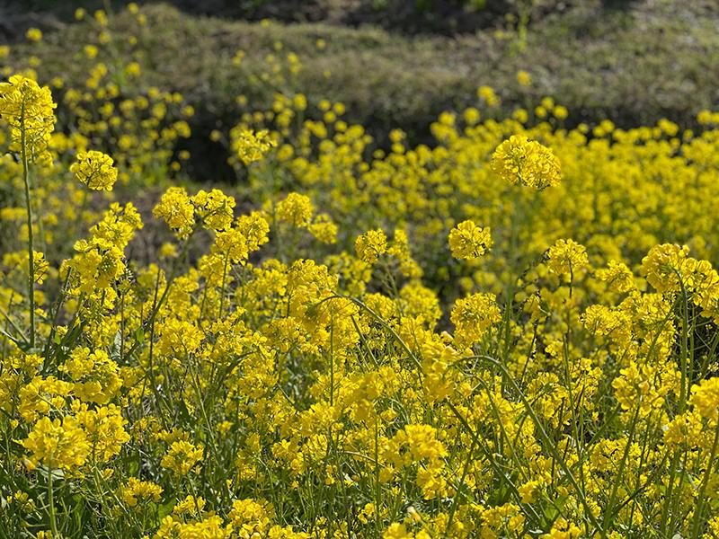遊佐町 菜の花
